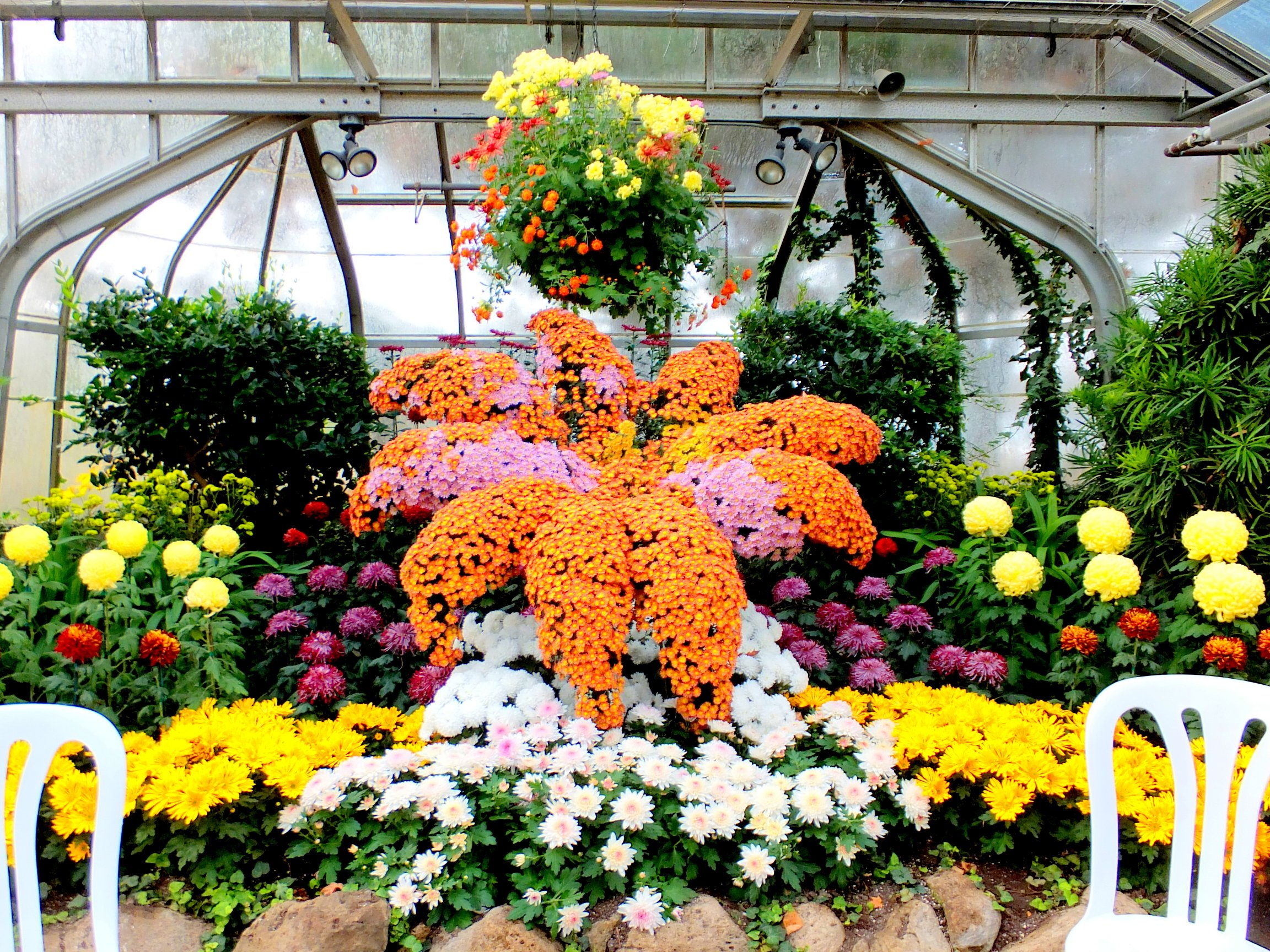 The Centennial Park Conservatory Chrysanthemum Show Photo by I Lee, 9 Nov 2014