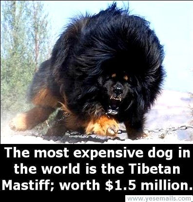 5. Tibetan Mastiff Puppy Sells For $2 Million Dollars In China Google image from http://skrillionaire.com/tibetan-mastiff-puppy-sells-for-2-million-dollars-in-china/