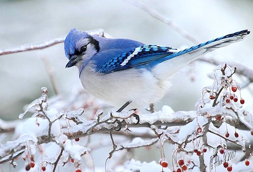Blue Jay Google image from https://farm8.staticflickr.com/7011/6735979535_1683dc860d.jpg