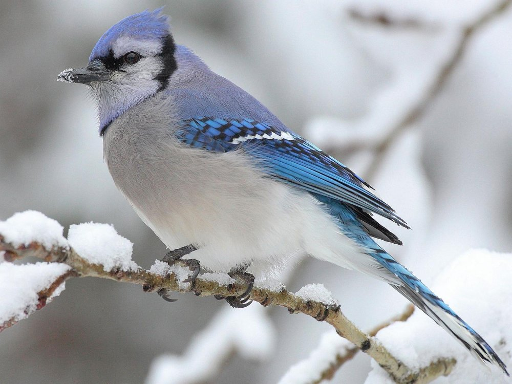 Blue Jay in Winter Google image from http://wallpapersinhq.com/images/big/winter_bird-996121.jpg