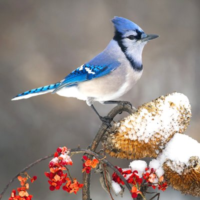Blue Jay in Winter Google image from http://wildtones.com/winter_haven_for_backyard_birds