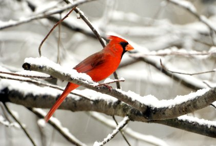 Cardinal Google image from http://www.usinspect.com/sites/default/files/images/cardinal.jpg