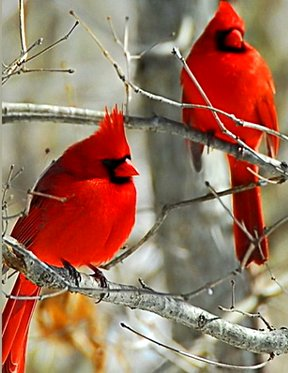 Winter Red - Two cardinals Google image from https://animals.desktopnexus.com/wallpaper/873190/