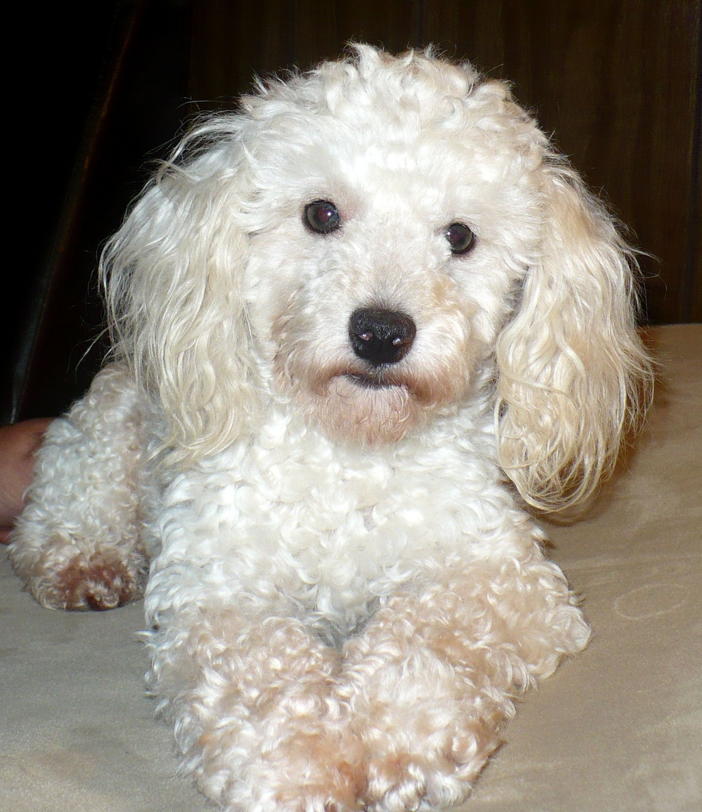 Poodle Google image from http://all-puppies.com/12-adorable-white-poodle-puppy-pictures.html
