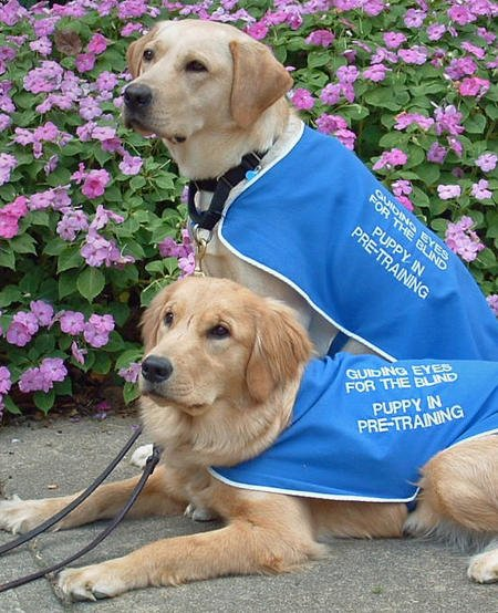 Guiding Eyes Guide Dogs Google image from http://cdn-www.dailypuppy.com/dog-images/guiding-eyes-guide-dogs-4_34671_2009-09-21_w450.jpg