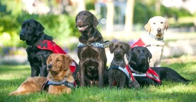 Guiding Eyes Guide Dogs Google image from  http://www.newhamburgindependent.ca/wp-content/uploads/2014/03/Lions-DogGuides-400x266.jpg