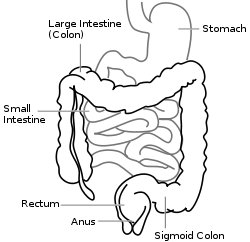 Large Intestine Diagram from Wikipedia