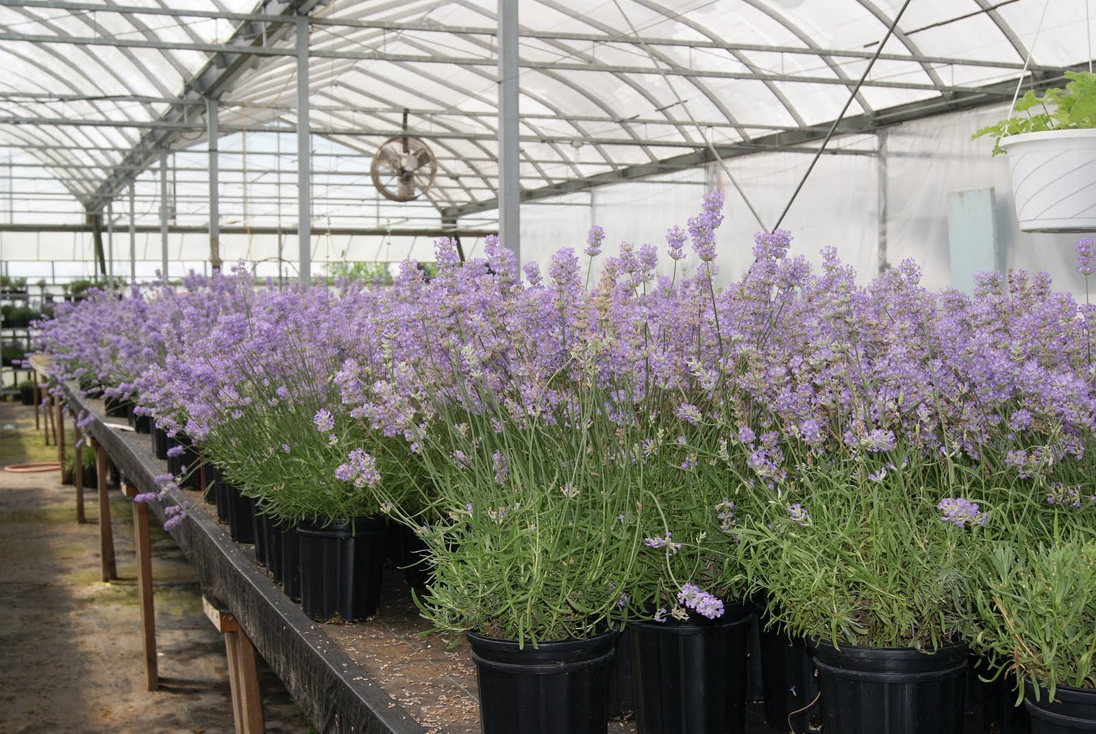 Lavender Greenhouse in Niagara-on-the-Lake Google image from http://www.traveladdictonabudget.com/2010/06/lavender-boutique-in-niagara-on-lake.html