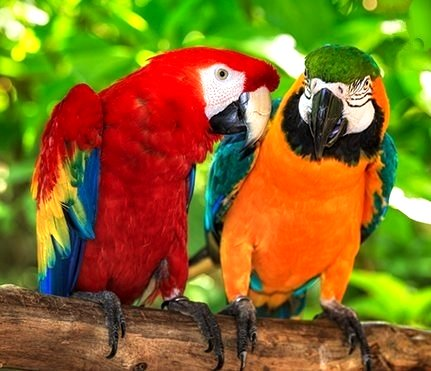 Macaw Parrots image adapted from The Erinview email 1 Mar 2017