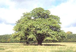 Oak tree Google image from http://www.itsnature.org/Plant_Life/images/article-pics/OakTree.jpg