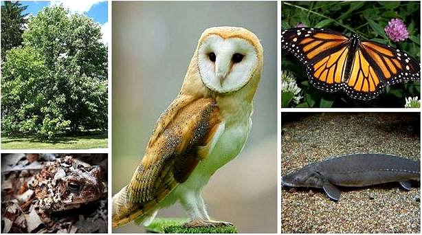 Species at Risk in Ontario Google image from https://www.rom.on.ca/en/blog/wildlife-photography-species-at-risk-in-ontario-and-what-you-can-do-to-help