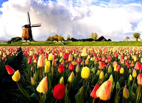 Windmill and Tulips in the Netherlands Google image from http://www.tripsite.com/site/assets/files/1242/tulipss.jpg